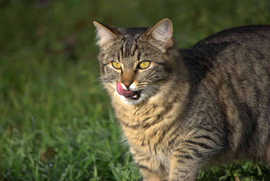 Brown Tabby Cat Licking His Whiskers - Brian Humek Photography